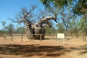 Day 24 Derby Prisoner Boab tree 1