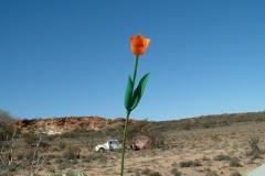 Day 7 de la Poer Range camping 3 tulip