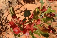 Day 7 de la Poer Range red wildflower