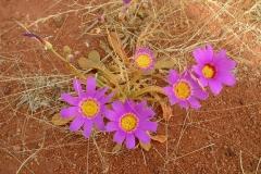 Day 13 Mount Gould piggface flowers