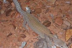 Day 14 Cobra Station gecko 2