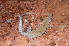 Day 14 Cobra Station gecko