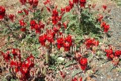 Day 17 near Wittenoom Sturt Desert Peas