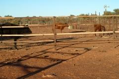 Day 6 near Bandya Station Cows 1