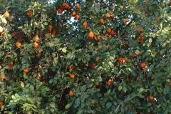 Day 8 Carnegie Station orange tree